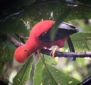 Cock of the Rock Mindo Ecuador