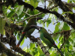 Crimson-rumped toucanet Mindo Ecuador