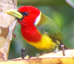 Red head barbet