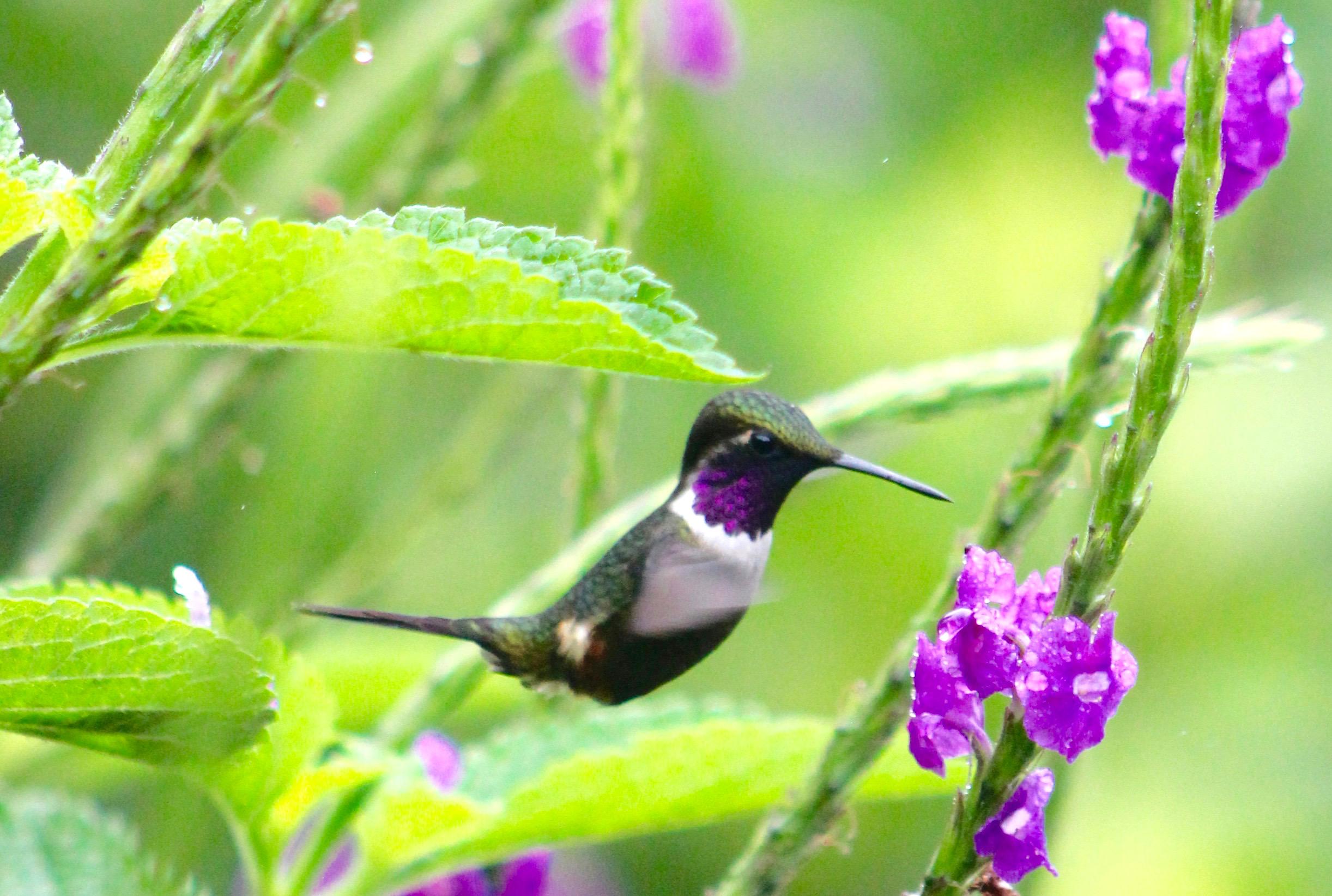 colibri1