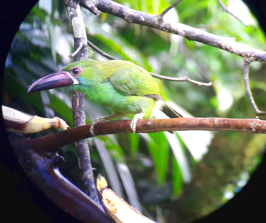 Toucanet Birding in Ecuador