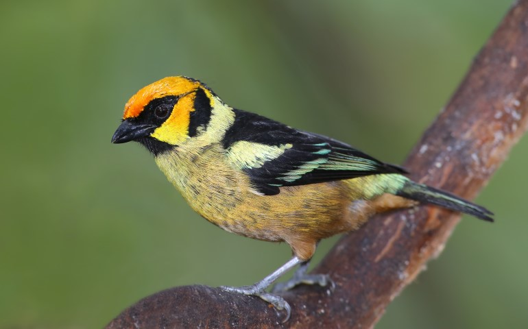 Tanager Mindo Ecuador Birding