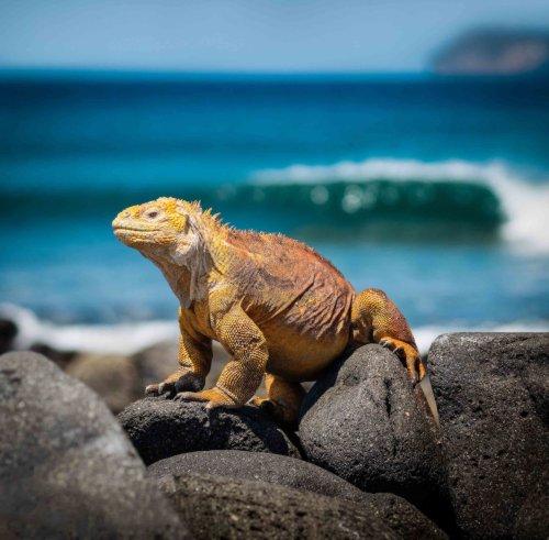 Galapagos Islands Iguana500 -